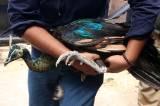 Delapan Tahun Pelihara 4 Burung Merak, Warga Surabaya Pasrahkan Hewan Kesayangannya ke BKSDA
