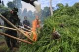 Operasi Pemusnahan Ladang Ganja di Aceh