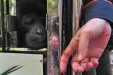 BKSDA Jambi Lepasliarkan Siamang dan Tapir di Taman Nasional Kerinci Seblat