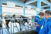 Mentan Syahrul Dorong Pengembangan Ternak Sapi Unggul