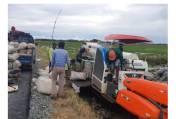 Ratusan Hektare Padi di Kawasan Food Estate Pulang Pisau Siap Dipanen