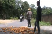 Protes Rencana Impor, Petani di Lombok Buang Jagung ke Jalan Raya