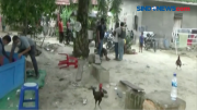 Kocar Kacir, Polisi Grebek Lokasi Judi Sabung Ayam