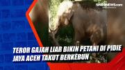 Teror Gajah Liar Bikin Petani di Pidie Jaya Aceh Takut Berkebun