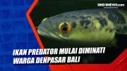 Ikan Predator Mulai Diminati Warga Denpasar Bali