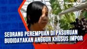 Seorang Perempuan di Pasuruan Budidayakan Anggur Khusus Impor