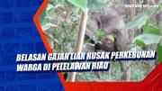 Belasan Gajah Liar Rusak Perkebunan Warga di Pelelawan Riau