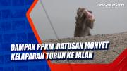 Dampak PPKM, Ratusan Monyet Kelaparan Turun ke Jalan