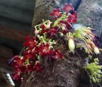 Selain Obat Batuk, Bunga Belimbing Wuluh Bisa Hambat Bakteri Berbagai Penyakit