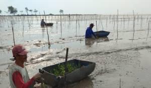 BRGM Pacu Rehabilitasi Mangrove di Masyarakat secara Padat Karya