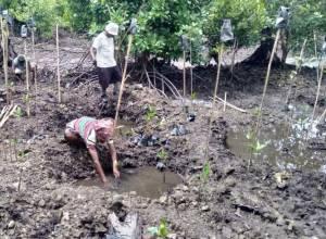 Dukung Ekonomi Hijau, BRGM Rehabilitasi Mangrove di 9 Provinsi
