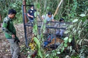 Pemuda Merangin Tewas Diterkam Harimau saat Cari Sinyal, BKSDA dan Polres Merangin Pasang Perangkap