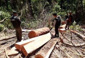 Pelaku Illegal Logging Menyerahkan Diri, Diduga Libatkan Oknum Perhutani