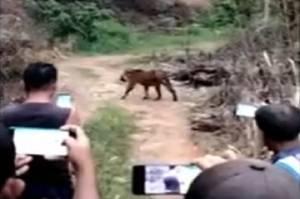 Aceh Gempar, Beredar Video Warga Beramai-ramai Rekam Harimau Liar di Kebun Sawit