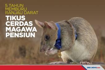 5 Tahun Memburu Ranjau Darat, Tikus Cerdas Magawa Pensiun
