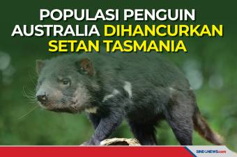 Populasi Penguin Australia Dihancurkan Setan Tasmania