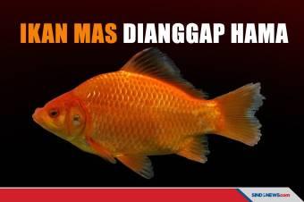 Jadi Ancaman Ekologi, Ikan Mas Dianggap Hama di Amerika