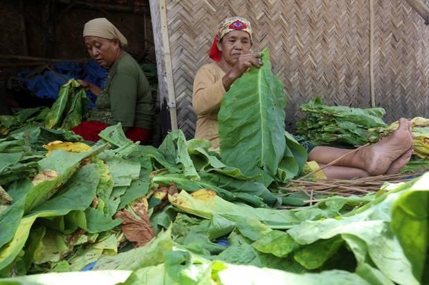 Penjualan dan Produksi Rokok Turun, Pemerintah Diminta Perhatikan Nasib Petani Tembakau