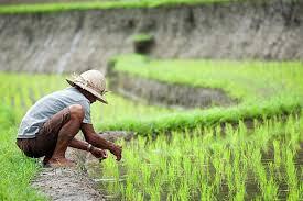 SIAP Jasindo Targetkan 1 Juta Hektare untuk Asuransi Tani di 2020