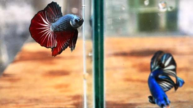 Ikan Cupang Lagi Ngetrend, Yuk Intip Peluang Bisnisnya