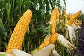 Kabar Gembira bagi Petani, Permintaan Jagung Rendah Aflatoxin Tinggi