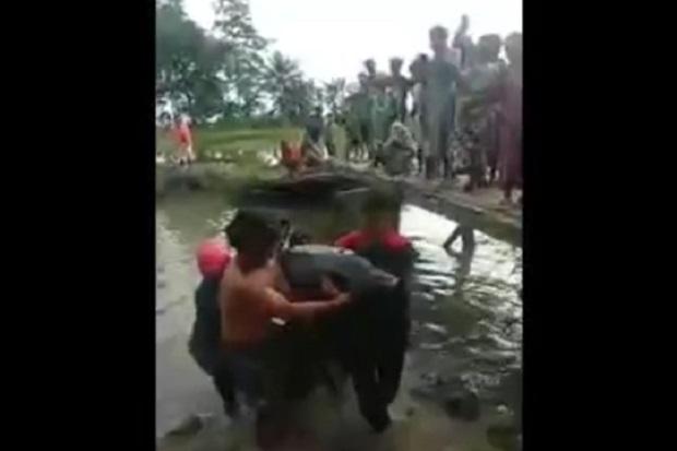 Luwu Gempar, Lumba-lumba Terdampar di Pengairan Sawah Diselamatkan Warga