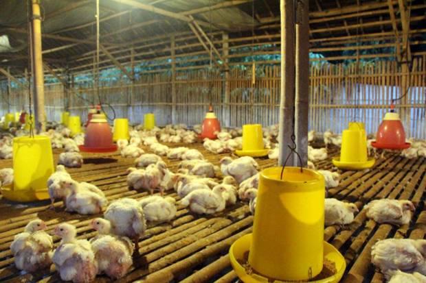 Didera Rugi, Ratusan Ribu Peternak Ayam Sudah Bangkrut