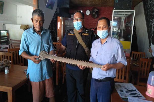 Datangi Warga Bali yang Simpan Moncong Pari Gergaji, KKP Ingatkan Warga