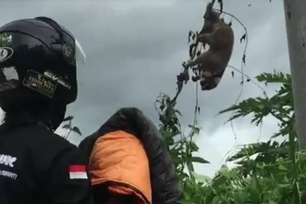 5 Jam Terjebak di Kabel Aliran Listrik Tegangan Tinggi, Kukang Liar Berhasil Diselamatkan