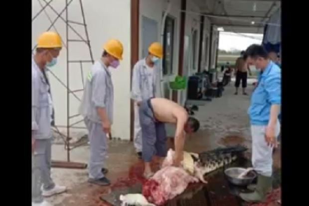 Heboh, WNA China Sembelih dan Kuliti Buaya di Pabrik Mega Industri Konawe