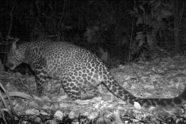 Karawang Geger! Macan Tutul Jawa Tertangkap Kamera di Gunung Sanggabuana