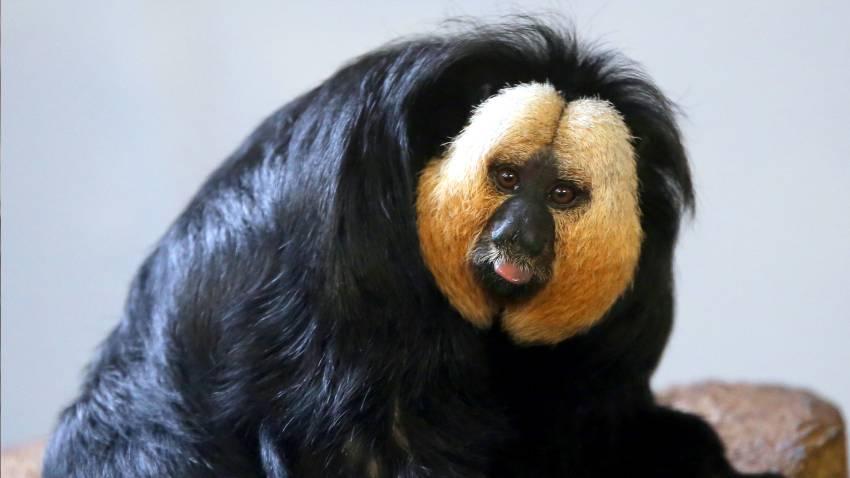 Monyet di Kebun Binatang Lebih Suka Suara Kemacetan Dibanding Suara Alam